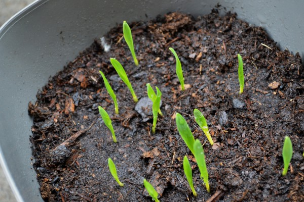 Catgrass 4-24