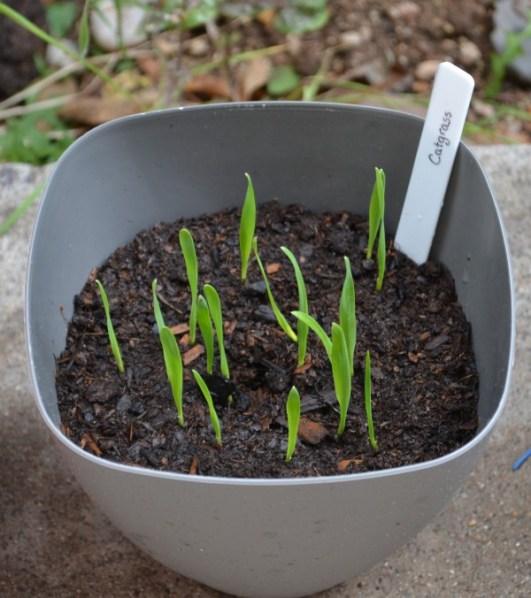 Catgrass 4-26