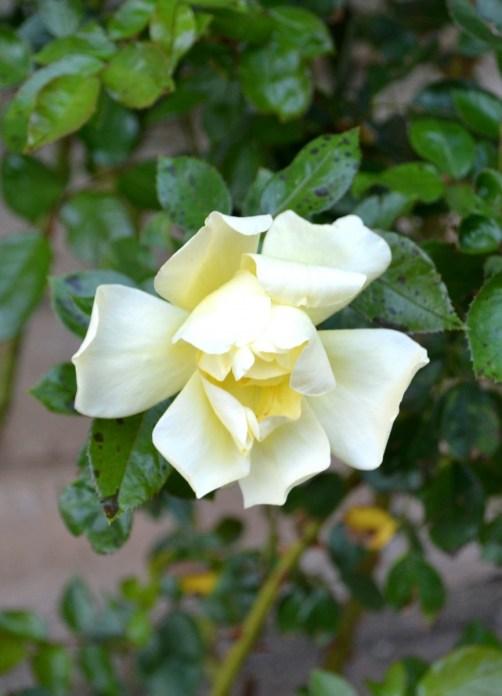 Lily 6-5b