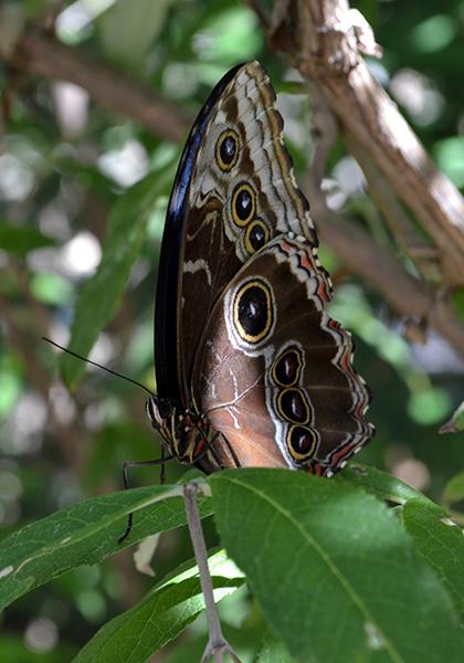 Butterfly 1B