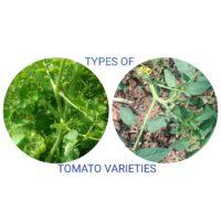 determinate-and-indeterminate-tomato