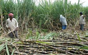 उखु उद्योगीको विवादले किसान मारमा