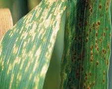 गहुँको खैरे सिन्दुरे रोग, लक्षण र  व्यबस्थापनका उपायहरु