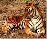 [tiger]