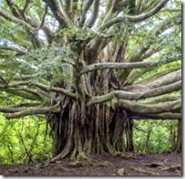 [banyan tree]