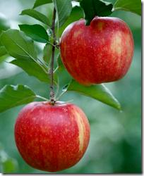 [apple tree]