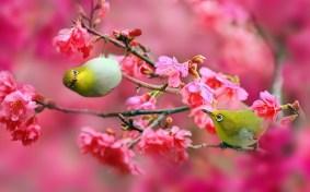 birds-cherry-blossom
