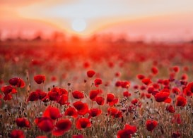 Songwriters for Veterans red poppies