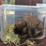Rabbit eating straight out of the plastic hay box