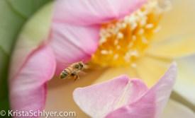 Bee perusing a lotus flower, Kennilworth Aquatic Gardens, Washington DC.