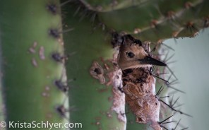 7. A gila woodpecker in a saguaro cactus cavity.