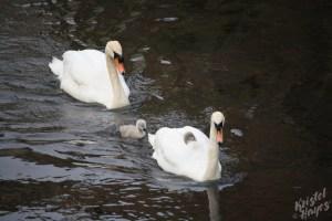 Edinburgh: Swans under Cannonmills Bridge