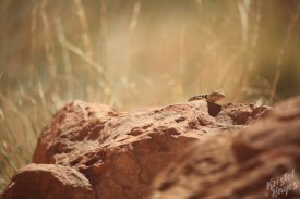 Lake Powel: Lizard