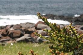 Monhegan Island: Lobster Cove Flora