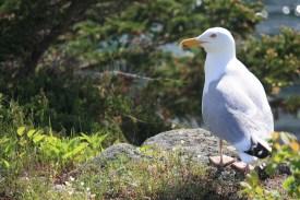 Monhegan Island: Seagull