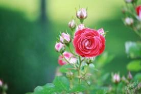 Deering Oaks Rose Circle: Cluster of Pink Buds