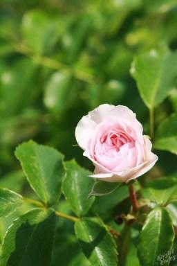 Deering Oaks Rose Circle: Pretty in Pink