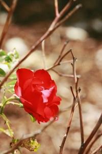 Deering Oaks Rose Circle: Rich Red