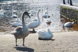 Cygnet & Swans-River Barrow, Ireland