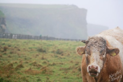 Muddy Bull-Cliffs of Moher, Ireland
