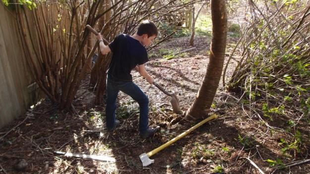 Felling a tree