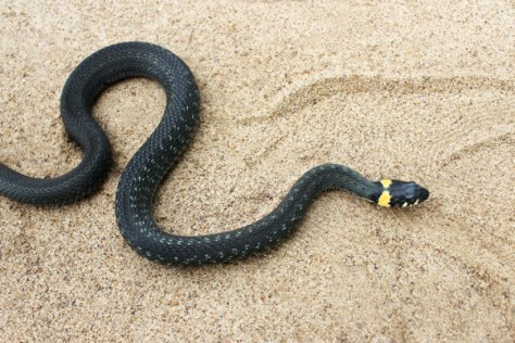 Natrix. Black Snake crawling through sand.