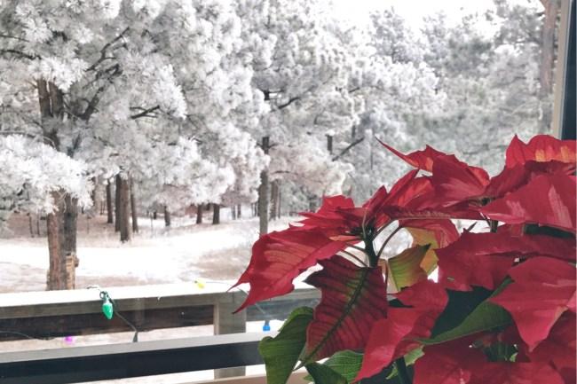 poinsettia_snow