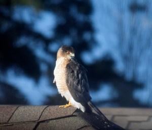 2015-02-22 10.06.22-Coopers-Hawk
