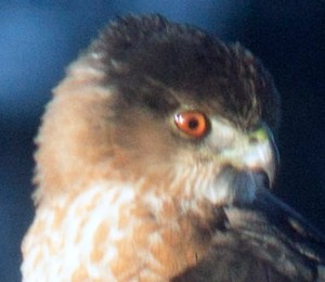 coopers-hawk-closeup