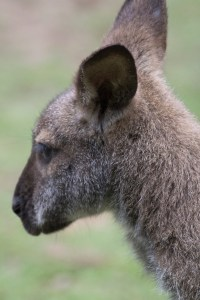 roo-head-shot