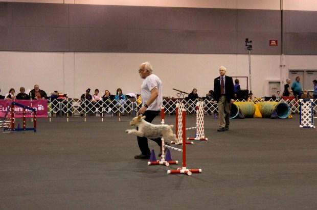 dog show agility 1