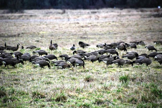 Ridgefield flock