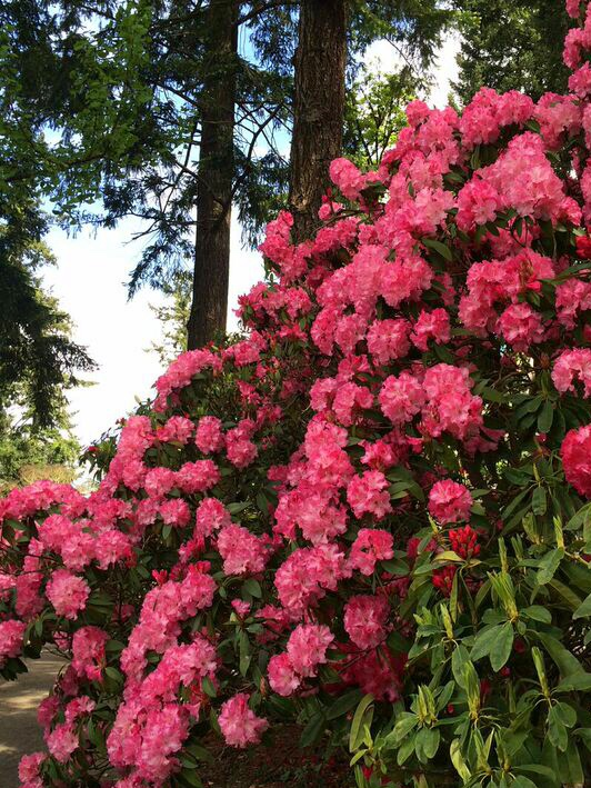 Rhododendron red
