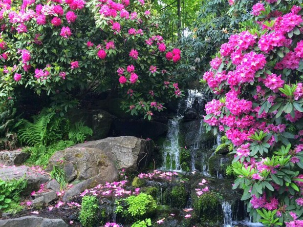 Rhododendron waterfall