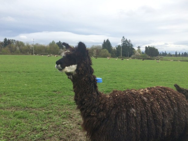Willamette valley llama