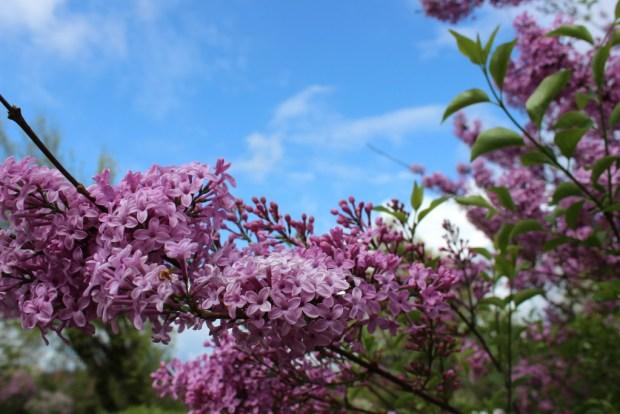lilacs framing the sky