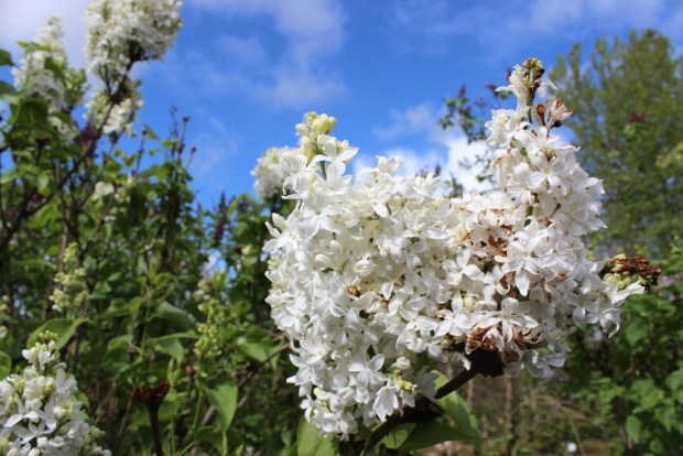 white lilacs and blue sky