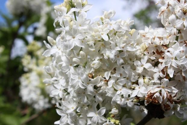 white lilacs close up