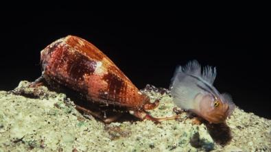 Image credit: http://www.sciencemag.org/news/2015/04/how-sea-snails-learned-gobble-fish