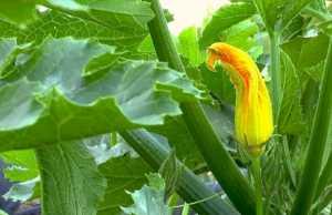 Zucchiniblätter