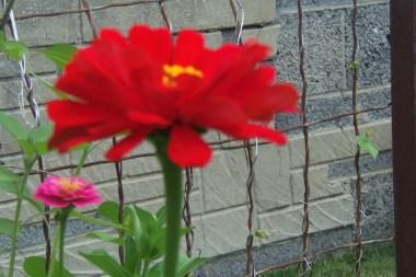 Red zinnia 2