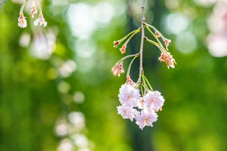 Photo of weeping cherry tree blossoms | by Kristina Quinones