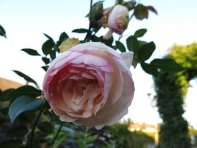 Eden Rose/Pierre de Ronsard