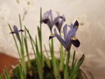Iris reticulata 'Gordon' 7