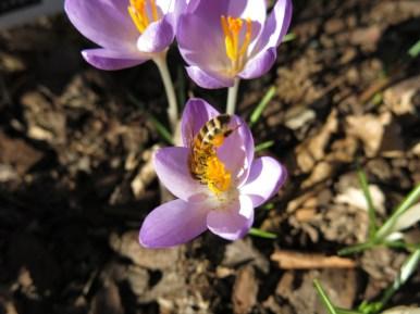 12 mars 15 vårtecken lila krokus bi