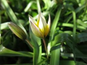 23 april 15 tulipa tarda