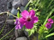 28 juni 15 lila näva trädhörnet