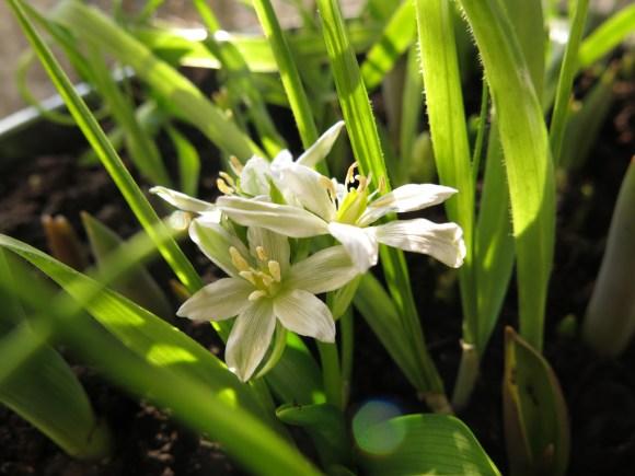 12 mars 16 Allium neapolitanum