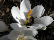 26 mars 16 vit krokus humla 1