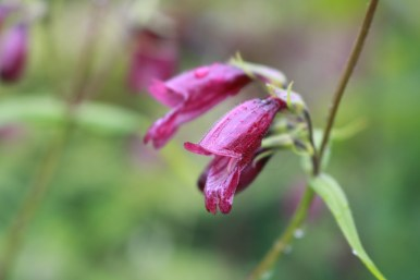 1 juli 17 dysterpenstemon chocolate drop 3